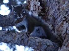 Pine squirrel, or chickaree