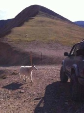 Mountain Goat hitching a ride