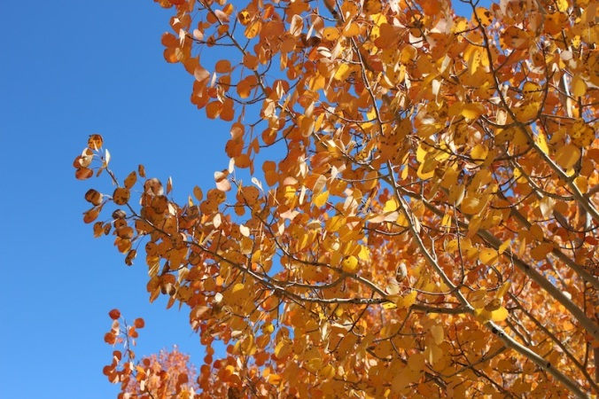 Aspen Gold and Blue Sky